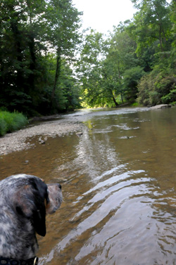 Bella enjoying a jaunt in the Watauga River