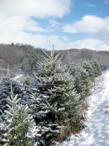 help the trees keep their needles throughout the christmas season the trees pictured here are part of a small farm near the new river in boone nc