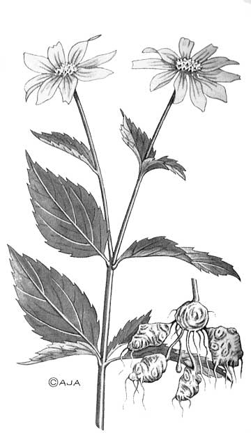 Illustration by Arthur J. Anderson, from Bradford Angier's Field Guide to Medicinal Wild Plants, revised 2008, Stackpole Books, Mechanicsburg, PA