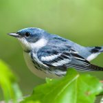 Cerulean warbler, photo courtesy of Frode Jacobsen