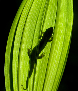 2011-salamander