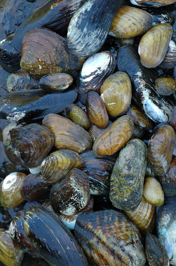 Abundant Living Appalachian Mussels: O...