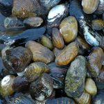 Flexing our mussels: The inland mussel species of Appalachia are unmatched around the world, with the Tennessee River basin alone containing more varieties than China and Europe combined. Photo courtesy of Aquatic Wildlife Conservation Center