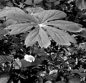 Large leaves of the mayapple shelter a single white blossom, which later yields the plant's fruit. Photo by Rick Mark