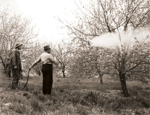 Workers spray lead arsenate at Bonhom Bros. Orchard in Chilhowie, Va., circa 1950. Though the pesticide faded from popular use in the 1940s, many growers continued to use lead  arsentate up until 1988, when it was banned. Traces from century-old applications still remain in the ground today. Photo courtesy of Norfolk and Western Historical Photograph Collection,  Norfolk Southern Archives, Norfolk, Va.