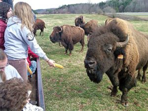Appalachian farmers are developing new ways to connect people  to the farm, including tours that provide guests with opportunities to get up close to farm animals like bison. Photo by Jillian Randel