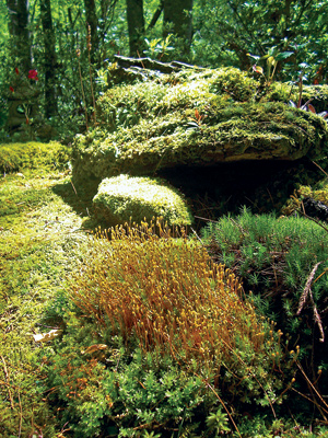 One of the many species of moss in Annie Martin's yard, plagiomnium-ciliare, displays its yellow sporophytes.