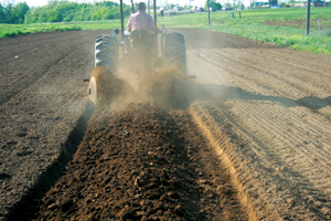 A row of sweet potatoes, planted end-to-end, is covered in several inches of dirt. The nutritious vegetables can be grown with tobacco farming  equipment, helping ease the transition to new Appalachian crops. Photo courtesy Tim Coolong and University of Kentucky Cooperative Extension