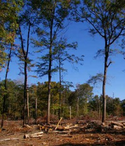 "Critics of woody biomass worry that poor practices create greenhouse gas pollution and eliminate forest habitat. Groups like the Forest Guild are trying to encourage practices such as sustainable harvesting of debris left from already-logged timber tracts, which involves leaving as much as 30 percent of the ""residue"" behind for wildlife habitat. But research has yet to determine how sustainable the idea will prove to be. Photo by Alex Finkral, courtesy the Forest Guild"