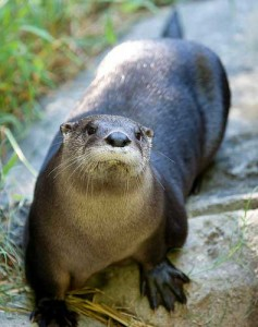 An otter pauses at the North Carolina Zoo. Photo by Richard Schuerger