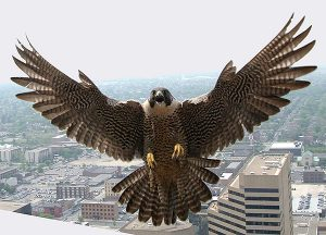 Peregrine falcons like nesting up high to survey their surroundings, preferably along cliff face sand mountain ridges, but they also take to bridges, radio towers and skyscrapers in cities like Columbus, Ohio, above. Photo courtesy of Ohio Department of Natural Resources
