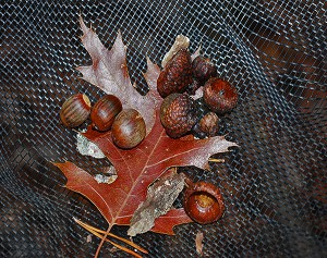 A net beneath an oak tree in North Carolina lets researchers study the season's acorn yield and how it affects the forest. Photo by Julia Kirschman, USDA Forest Service