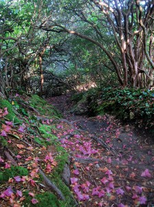 Rhododendron blossoms line a route near the intersection of the Art Loeb and Mountains-to-Sea Trails. Photo courtesy Matt Kirk