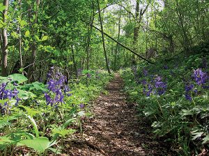 Newly arriving settlers to southwest Virginia during the 18th century used Cliff Trail, which during the spring is covered in Delphinium tricorne, a flowering plant commonly known as dwarf larkspur. Photo by Kimber Ray