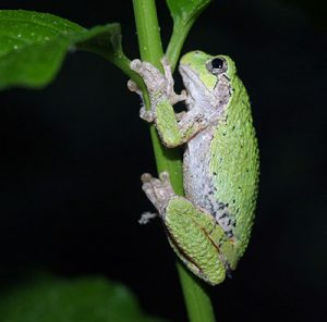 The Eastern gray treefrog looks physically similar to the Cope's treefrog. They can only be differtiated by their mating calls. Listen online at appvoices.org/thevoice