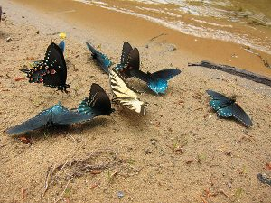 """The yellow-winged Eastern Tiger Swallowtail and the orange-spotted Spicebrush Swallowtail are sipping nutrients from the mud in a process known as """"puddling."""" Photo by Kimber Ray."""