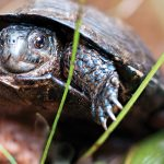 bog-turtle-1_RGB