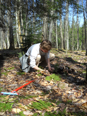 A red spruce seedling is carefully placed into the ground. Photo courtesy The Nature Conservancy.