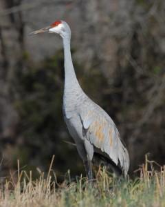 crane_sandhill