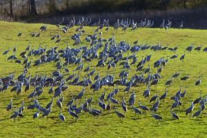 cranes_sandhill_5