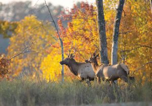 Place names such as Elk River and Elkhorn indicate the historical range of the Eastern elk. One day these places may once again live up to their namesake. Photo by John Brunjes.