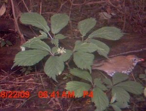 A motion-activated camera catches this wood thrush snacking on a ginseng berry. Photo courtesy of James McGraw