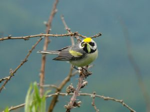 A golden-winged warbler eats a caterpillar. Photo by Ed Burress Cerulean warbler. Photo courtesy of Mdf, Wikimedia Creative Commons