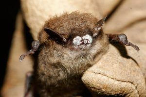A little brown bat suffers from white-nose syndrome. Photo courtesy Ryan von Linden/New York Department of Environmental Conservation