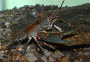 The Big Sandy crayfish, which is currently considered endangered by Virginia officials, may also be listed as federally endangered. Photo by Zachary Loughman, West Liberty University