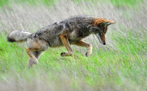 A coyote hunting in the Tennessee Valley. Photo by Matt Knoth