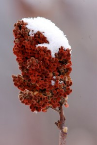 Staghorn sumac is identifiable by the bristly hairs covering its drupes and branches. Photo by Gregorio Perez