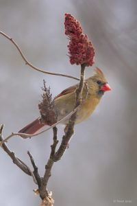 """""""Christmas Day Cardinal,"""" Over 300 types of songbird, including this female Cardinal, depend on sumac drupes for winter forage. Photo by Trevor Jones; https://birdnerdsphoto.blogspot.ca/"""