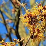 Witch-hazel In Flower by Si Griffiths