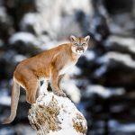 North American Cougar:  Photo by Baranov E / Shutterstock