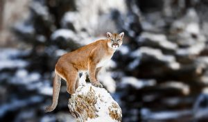 North American Cougar:  Photo by Baranov E / Shutterstock