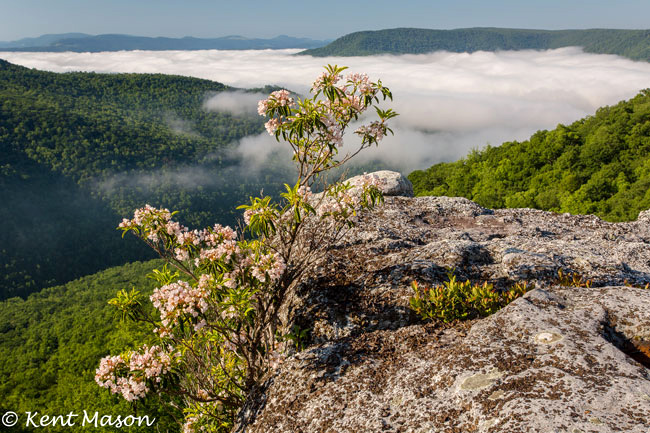 Mountain Laurels in bloom, photo courtesy of Kent Mason