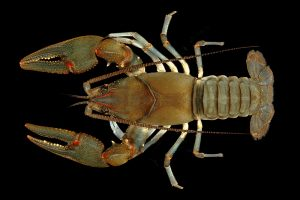 The Big Sandy crayfish is one of two Appalachian crayfish now protected under the Endangered Species Act. Photo by Guenter Schuster