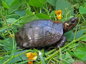 The tiny bog turtle lives in marshes and bogs across the eastern United States. Both the northern and southern populations are threatened with extinction. Photo courtesy of the U.S. Fish and Wildlife Service