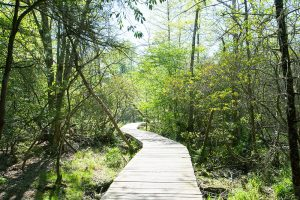 Newly constructed elevated boardwalks wind through the bog area, which beaver dams have expanded in size. Photo by Andrew G. Payne