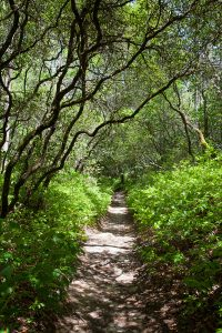 As you begin the loop clockwise, the path passes through tunnels of mountain laurel and rhododendron. Photo by Andrew G. Payne