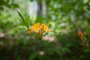 The flame azalea is just one of the many beautiful native plants you'll encounter on this hike. Photo by Andrew G. Payne