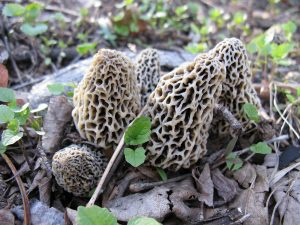 Morel: a fine edible mushroom with a coral-like cap. Found in early spring in recently burned areas, on/around dying trees. Photo by Gzirk via Wikimedia Commons