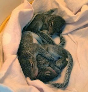 Animal rehabilitators care for a diverse range of animals, including these three infant squirrels. Photo courtesy of Kentucky Wildlife Center, Inc.