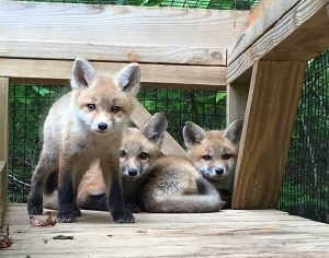 These red fox kits will remain at the rehabilitation center until they are five to six months old and can be released into the wild. Photo courtesy of Rockfish Wildlife Sanctuary