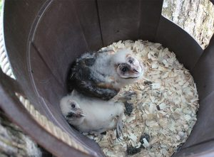 After their nest was destroyed, Carlton Burke built these baby barn owls a makeshift home out of a plastic garbage can. The parent birds soon returned to care for their owlets. Photo by Carlton S. Burke, Carolina Mountain Naturalists