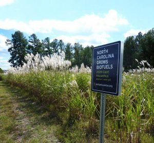 Giant miscanthus was one of the biofuel feedstocks tested by the Biofuels Center of North Carolina before its funding was eliminated. Photo courtesy of the Biofuels Center of North Carolina