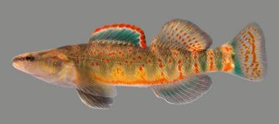 Kentucky arrow darter photo by Dr. Matthew R. Thomas, Kentucky Department of Fish and Wildlife Resources