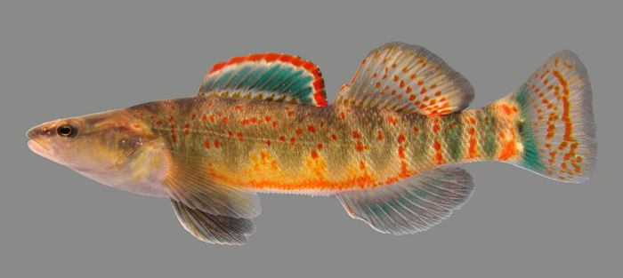 Kentucky arrow darter photo by Dr. Matthew R. Thomas, Kentucky Department of Fish and Wildlife Resources