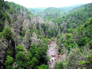 The aphid-like woolly adelgid is devastating hemlock populations in the southern Appalachians, leaving behind gray ghosts like these in the Pisgah National Forest in North Carolina. Photo by Steve Norman, courtesy of U.S. Forest Service