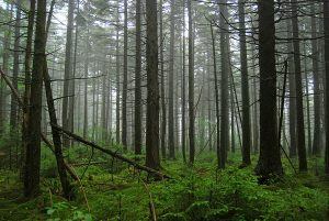 The highland forests of the Cranberry Wilderness would retain its high level of protection if the national monument is designated. Photo by Geoff Gallice